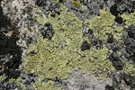 Map Lichen   Rhizocarpon geographicum