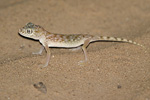 Middle Eastern Short-fingered Gecko   Stenodactylus doriae