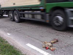 Roadkilled animals   Roadkilled animals